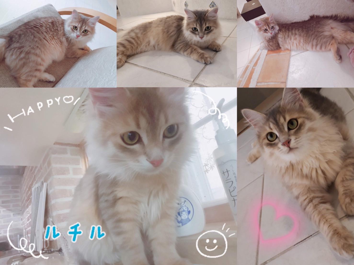 猫 サイベリアン ペットシッター